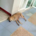 タイ人にとって犬とは?