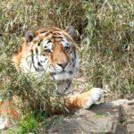 タイで虎に触ってみよう!!!