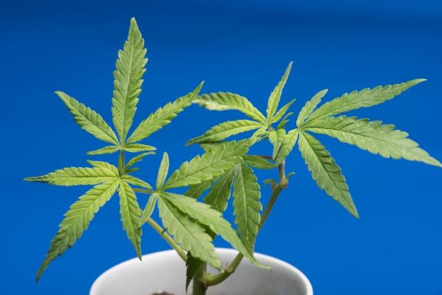最近のタイの大麻事情は???